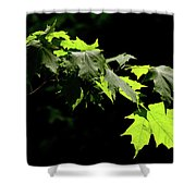 Limelighted Maples Shower Curtain
