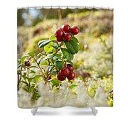Lingonberries 1 Shower Curtain