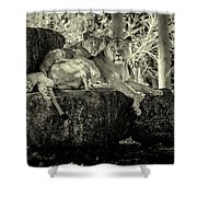 Lion And Her Cubs Shower Curtain