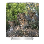 Lion Cubs Awaiting Mom Shower Curtain