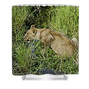 Lion In A Cool Glade Shower Curtain