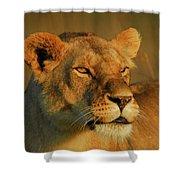 Lioness At Maasai Sunet Shower Curtain