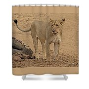 Lioness At The Kill Shower Curtain