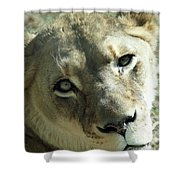Lioness Up Close Shower Curtain