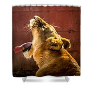 Lioness Yawn Shower Curtain