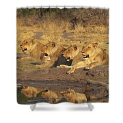 Lionesses Shower Curtain