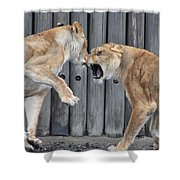 Lioness's Playing 1 Shower Curtain