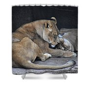 Lioness's Playing 2 Shower Curtain