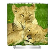 Lions Xvii Shower Curtain