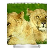 Lions Xviii Shower Curtain