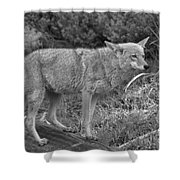 Listening Intently Closeup Black And White Shower Curtain
