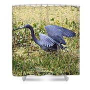 Little Blue Heron Walking In The Swamp Shower Curtain