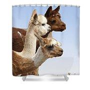 Llama's Three Shower Curtain