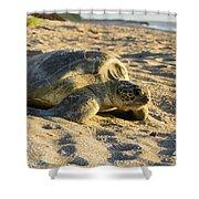 Loggerhead Sea Turtle Returning To The Ocean Shower Curtain