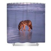 Lone Coyote On The Shore Of Lake Superior Shower Curtain