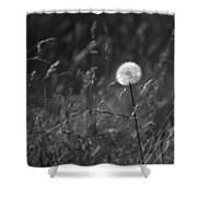 Lone Dandelion Black And White Shower Curtain