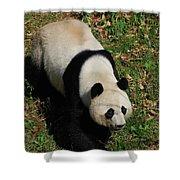 Looking Down At A Cute Giant Panda Bear Shower Curtain