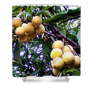 Loquats In The Tree 1 Shower Curtain