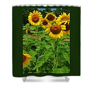 Louisa, Va. Sunflowers 3 Shower Curtain