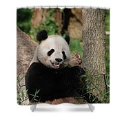 Lounging Giant Panda Bear With A Shoot Of Bamboo Shower Curtain
