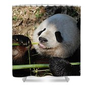 Lovable Giant Panda Bear With Big Paws Shower Curtain