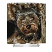 Loveable Yorkie  Shower Curtain