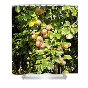 Lovely Apples On The Tree Shower Curtain