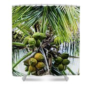Lovely Bunch Of Coconuts Shower Curtain