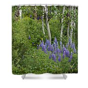 Lupine And Aspens Shower Curtain