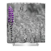 Lupins 2016 26a Shower Curtain