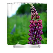 Lupins 2016 5 Shower Curtain