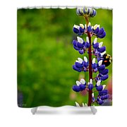 Lupins 2016 6 Shower Curtain