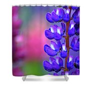 Lupins 36 Shower Curtain