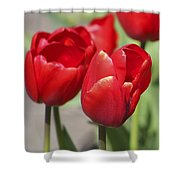 Luscious Tulips  Shower Curtain