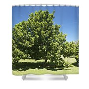 Macadamia Nut Tree Shower Curtain by Kicka Witte - Printscapes