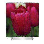 Macknac Island Tulips 10393 Shower Curtain