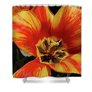 Macro Of A Blooming Striped Yellow And Red Tulip Shower Curtain