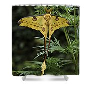 Madagascar Comet Moth Shower Curtain