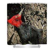 Magellanic Woodpecker - Patagonia Shower Curtain