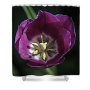 Magenta Tulip Center Squared Shower Curtain