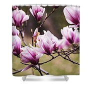Magnolia Blooming In An Early Spring Shower Curtain