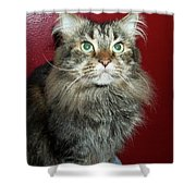 Maine Coon Portrait Shower Curtain