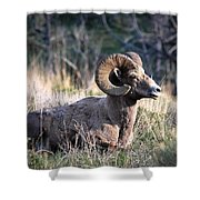 Majestic Bighorn Sheep Shower Curtain