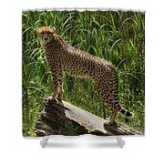 Majestic Cheetah Shower Curtain