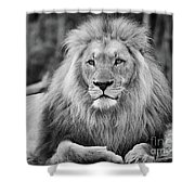 Majestic Male Lion Black And White Photo Shower Curtain