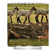 Makeway For Lambs Shower Curtain
