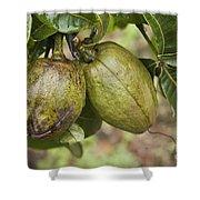 Malabar Chestnuts Shower Curtain