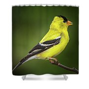 Male American Golden Finch On Twig Shower Curtain