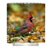 Male Cardinal Cardinalis Cardinalis Shower Curtain