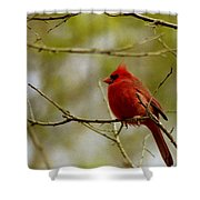Male Cardnial Shower Curtain